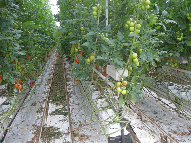Tomatoes – production