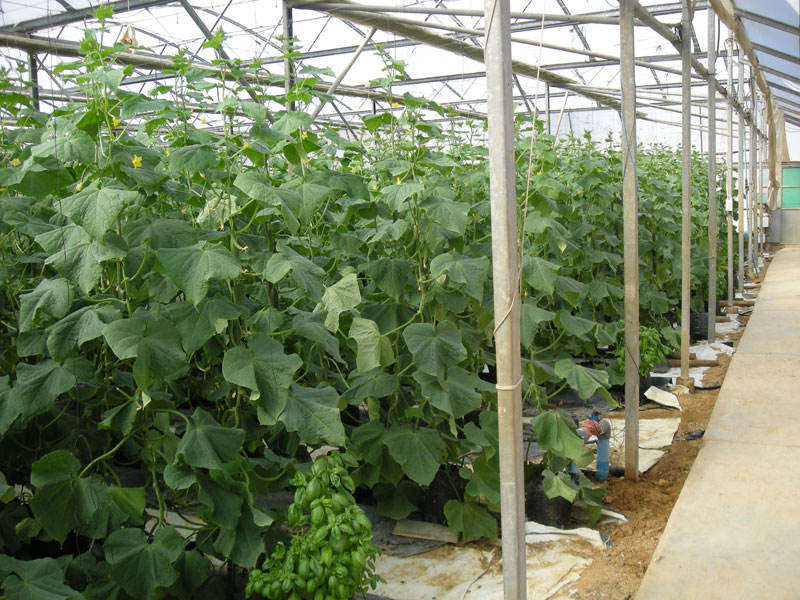 Cucumbers – production